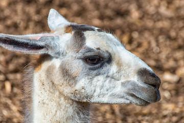 White Gray Llama in profile