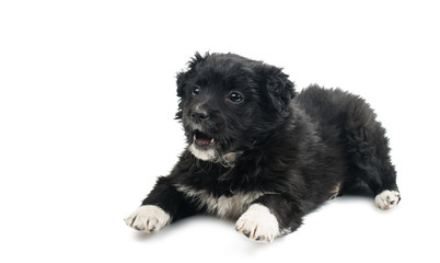 Black puppy isolated