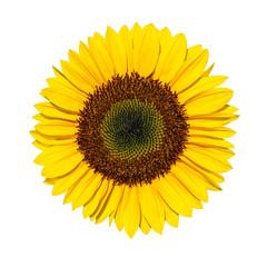 Gelbe Sonnenblume vor weißem Hintergrund als Freisteller