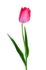 Pink tulip spring flower isolated on white background