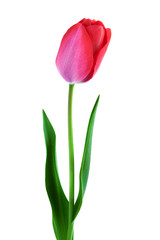 one pink tulip over white vertical composition
