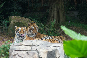 The couple of Amur tigers is walking in the safari park in China