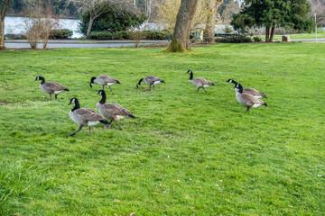 Canada Geese Near Lake