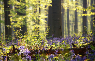 fern and bluebell flowers in forest