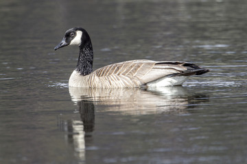 Side view of swimming goose.