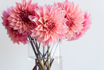 Close up of bright pink dahlias in glass vase (selective focus)