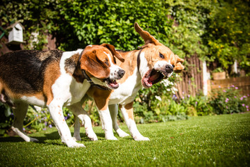 pair of Beagles