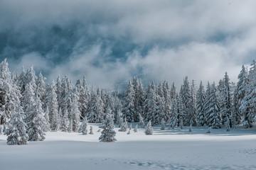 Snowy Tree Tops   Foggy Morning