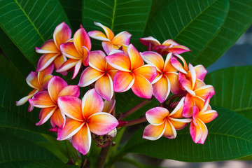 Plumeria flowers, natural tree