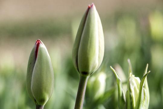 Knospen einer Tulpe (Nahaufnahme)