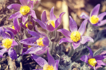 Beautiful spring violet flowers background. Eastern pasqueflower, prairie crocus, cutleaf anemone.  Shallow depth of field. Toned. Copy space.