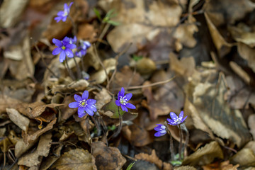 The first flowers of spring violets