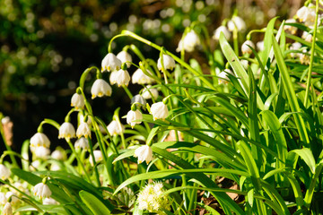 Spring snowflake flowers (Leucojum vernum) blooming in sunset. Early spring snowflake flowers in march. First flowers in springtime. Closeup of white spring snowflake in the forest.