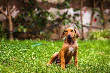 Puppy dachshund dog sitting on a grassy yard