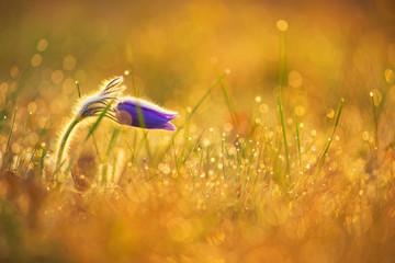 Pasque flower at sunrise