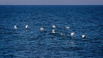 Cattle egret (Bubulcus ibis) group over the ocean in Spain
