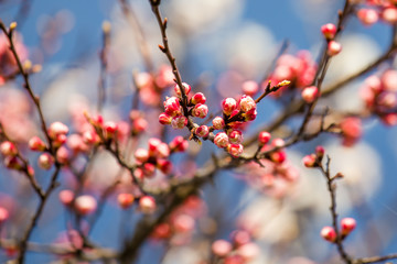 Blooming apricot flowers