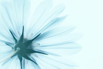 Wall Mural - Blue translucent cosmos flower