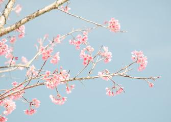Wall Mural - Cherry Blossom or Sakura flower on nature background