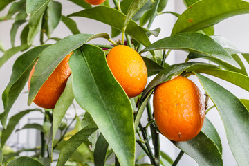 Closeup of a kumquat tree with fruits