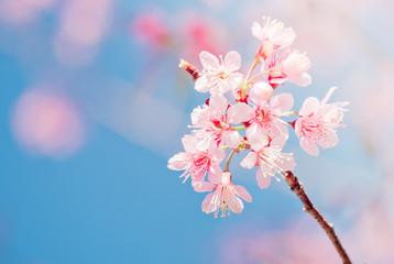 Wall Mural - Sakura Flower or Cherry Blossom on blue background