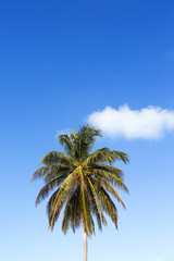 Palm tree and blue sky with one cloud. The cloud is an extension the the coconut tree top. Copy space. Vertical image. Lots of room for text.