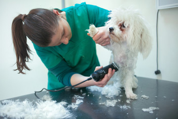 Bichon Fries grooming with trimmer