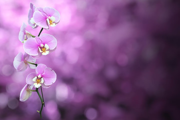 Isolated Purple Orchid flower with Clipping Path.