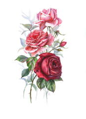 Hand-drawn watercolor tender spring roses blossom. Artistic rose flowers. Natural illustration for the floral decorative design on the white background.