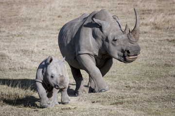 female rhino and her baby running on the African savannah a photographer