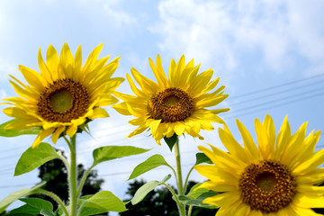 Sunflowers - Helianthus annuus.