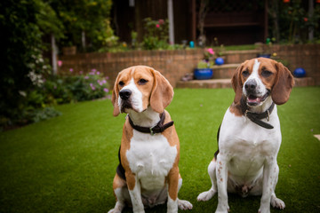 two beagles having fun playing in the garden