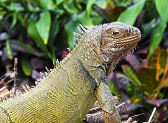 Iguana close-up portrait with blurred background