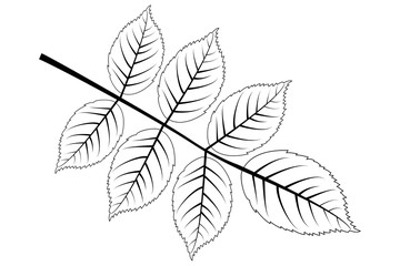 walnut - leaf vector illustration ,