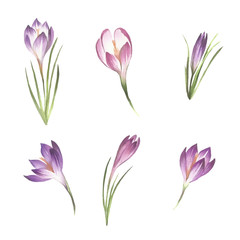 Set with flowers crocus. Hand draw watercolor illustration
