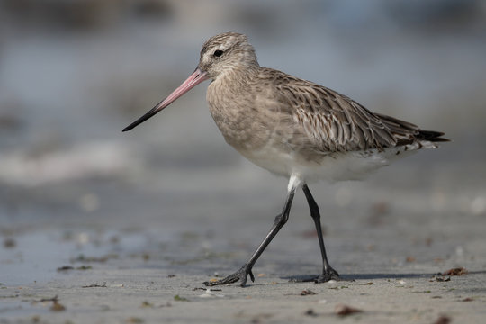 Bar-tailed godwit, Limosa lapponica
