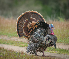 Strutting Male Turkey