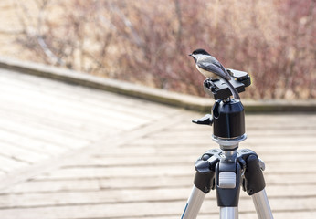 Tiny woodpecker bird perched on top of a photographers tripod, boardwalk and bushes in background