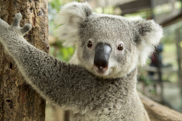 Photo sur Toile Koala Australian koala bear sitting on a branch
