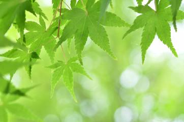 新緑のモミジ 木漏れ日