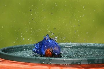 Fotoväggar - Eastern Bluebird Beating The Heat