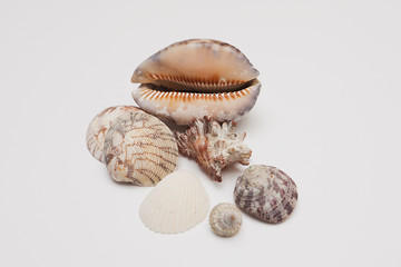 Seashells on a white background