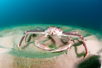 Snow crab (opilio crab) on the seabed