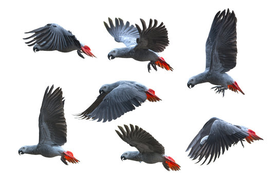 Bird flying, African grey parrot isolated on white background