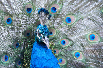 The Indian peafowl or blue peafowl, a large and brightly coloured bird, is a species of peafowl native to South Asia, but introduced in many other parts of the world.