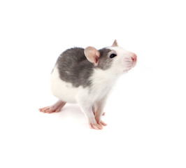 Cute little decorative rat on white background..