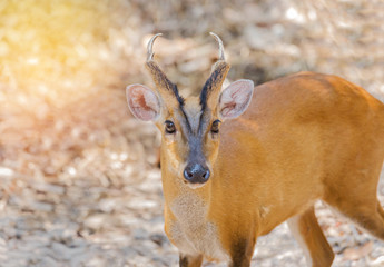 close up young barking deer (Muntiacus muntjak) wildlife in the natural