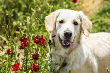 Golden retriever in the field of flowers