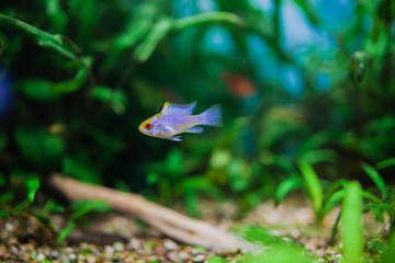 """Papiliochromis ramirezi """"Neon Blue""""\""""Electric blue"""" called Butterfly fish in a nature aquarium in Amano style"""