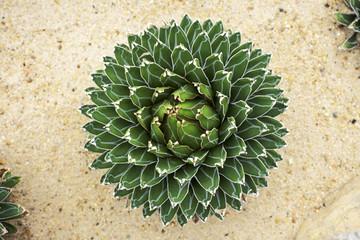Cactus [Agave victoria-reginae]